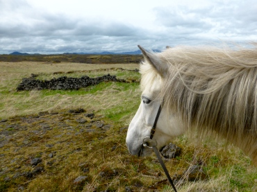 Riding Icelandic horses through the lava fields