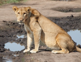 Watching a lioness quench her thirst